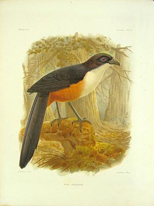 Delalande's coua - Chromolithic print