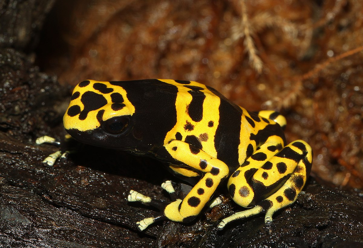 File:Dendrobates-leucomelas-gelbgebänderter-baumsteiger.jpg - Wikimedia  Commons
