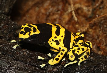 Yellow-Banded Poison Dart Frog, Yellow-Headed
