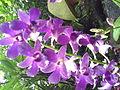 DendrobiumBaeYongJun-NationalOrchidGarden-Singapore-20060710.jpg