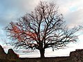 Der Baum auf der Hohenburg. - panoramio.jpg