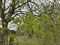 Der Frühling naht, Kastanienblätter.jpg