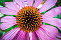 Der Sonnenhut, lat. Echinacea , Echinacea purpurea 01.jpg