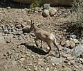 Desert Bighorn Sheep Back Anza Borrego.jpg