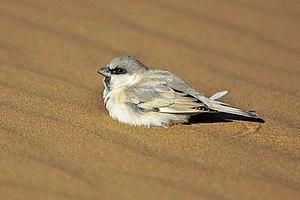 Desert sparrow - Male in Morocco