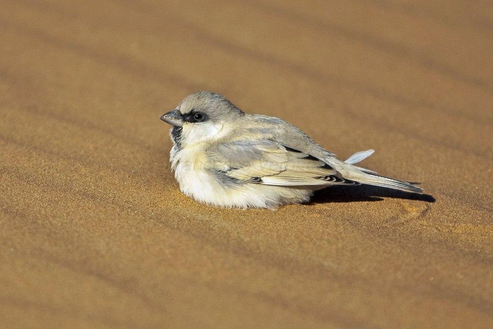 Desert Sparrow - Merzouga - Morocco 07 7156 (22203842844)