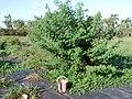 Desmanthus bicornutus CPI 91162 bush 841.jpg