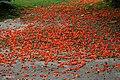 Dhak (Butea monosperma) flowers on ground in Kolkata Im IMG 4255.jpg