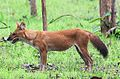 Dhole, Pench Tiger Reserve.jpg