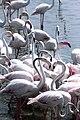 Diagonal row of flamingos.jpg