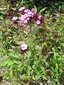 Dianthus barbatus (14705222993).jpg