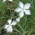 Dianthus graniticus flower in Rostock.jpg