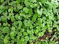 Dichondra repens leaf1 (8428933920).jpg