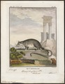 Didelphis philander - 1700-1880 - Print - Iconographia Zoologica - Special Collections University of Amsterdam - UBA01 IZ20300104.tif