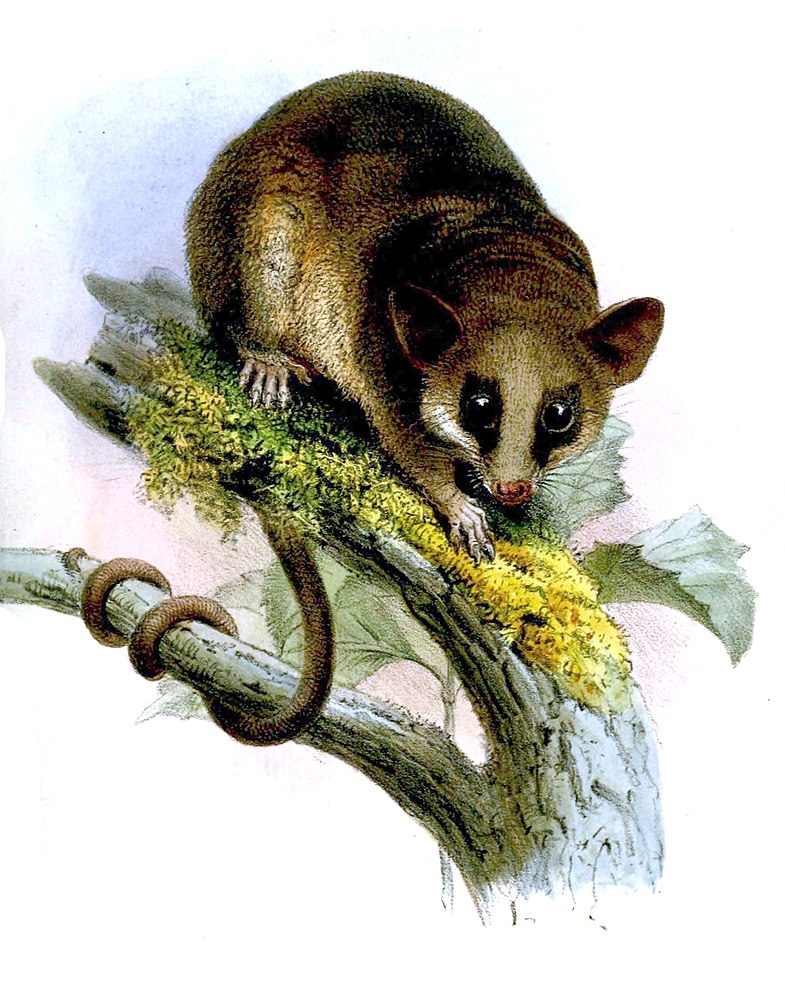 The average litter size of a Linnaeus's mouse opossum is 7