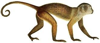 Simian - Image: Die Säugthiere in Abbildungen nach der Natur, mit Beschreibungen (Plate 8) (white background)