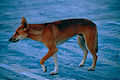 Dingo (Canis lupus dingo) crossing the road in the evening (9951729025).jpg