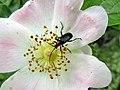 Dinoptera collaris 13.2.jpg