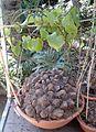 Dioscorea elephantipes 1e.jpg
