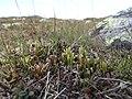 Diphasiastrum alpinum plant (13).jpg
