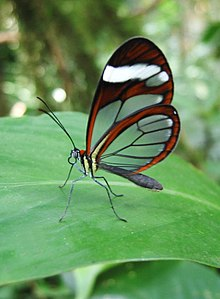A glasswing butterfly in the forest to the west of Santa Fé (Veraguas Province), Panamá