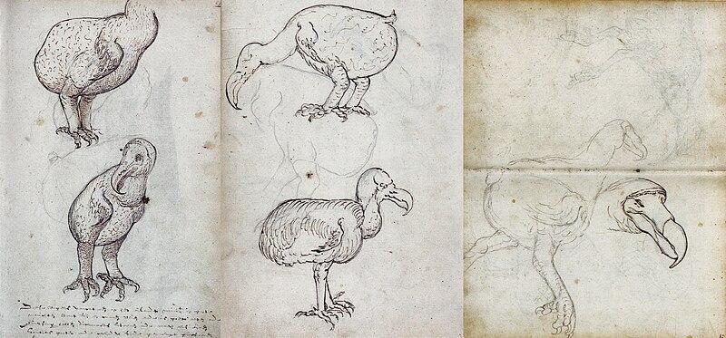 File:Dodo (VOC Gelderland, 1602).jpg