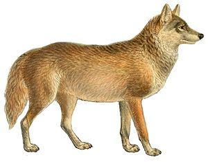 Ethiopian wolf - 50 px