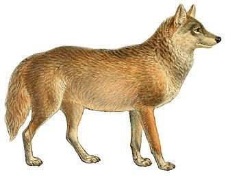Golden jackal - 50 px