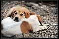 Dogs (5148490402).jpg