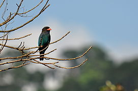 Dollarbird in Middle Andamans.JPG