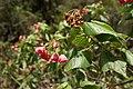 Dombeya elegans (pink) flowers 3.JPG