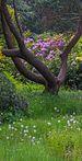 Doorkijkje naar rhododendron. Locatie Hortus Haren.jpg