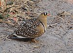 Double-banded Sandgrouse.JPG