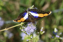 Doxocopa laure Male 1.jpg