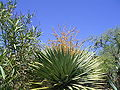 Dracaena draco (Puntagorda) 18 ies.jpg