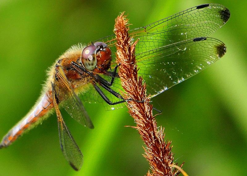 File:Dragonfly Großlibelle (18752467931).jpg