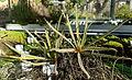Drosera regia - Botanischer Garten Braunschweig - Braunschweig, Germany - DSC04338.JPG