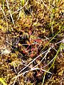 Drosera rotundifolia sl2.jpg