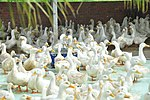 Duck farm in Can Tho (14239818021).jpg