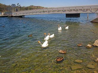 Miramar Reservoir - Ducks and Geese at Lake Miramar