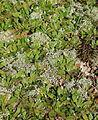 Duesterdieker Niederung Cladonia Hieracium pilosella 02.JPG