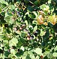 Dune Crowberry - Rhus crenata - South Africa 3.jpg