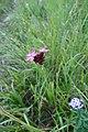 Dyanthus pontederae 05.jpg