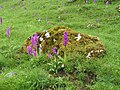 Early Purple Orchid, Horseshoe Dale - geograph.org.uk - 176918.jpg