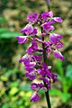 Early Purple Orchid - geograph.org.uk - 1305963.jpg