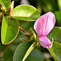 Eastern Milkpea (Galactia regularis) (6105949509).jpg
