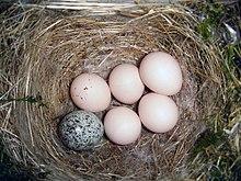 Ninho feito de palha com cinco ovos brancos e um ovo cinza salpicado