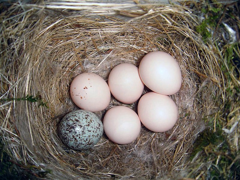 File:Eastern Phoebe-nest-Brown-headed-Cowbird-egg.jpg