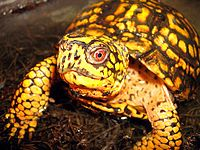 A bright yellow and black eastern box turtle looking at the viewer and facing toward the right.