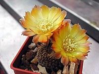 Echinopsis famatinensis1PCJO.jpg